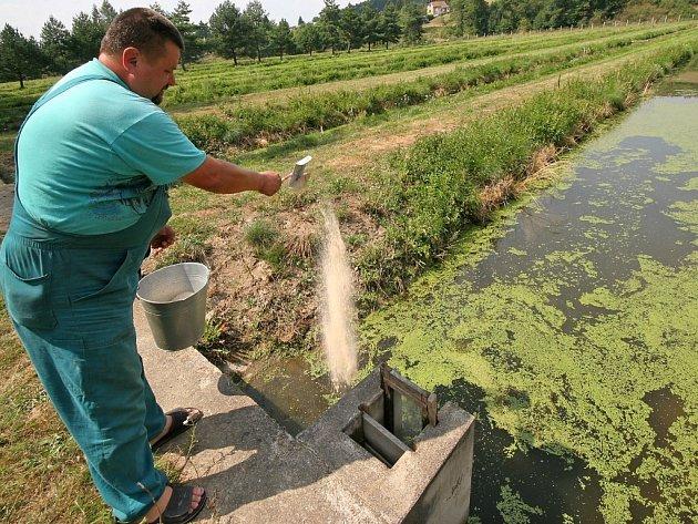 Lubomír Máca právě provádí v třebíčských sádkách krmení v jednom ze dvanácti rybníčků. Teplota vody se pohybuje okolo 24 stupňů, což je pro ryby na hranici přežití.