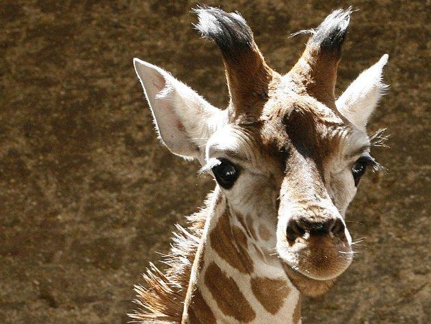 Namísto žiraf by čtenáři webových stránek jihlavského Deníku uvítali spíše delfíny.