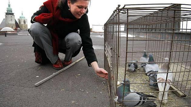 Někteří holubi jsou prý už tak chytří, že si dokážou klec otevřít. Proto se musí zabezpečovat dřevěným kolíkem.