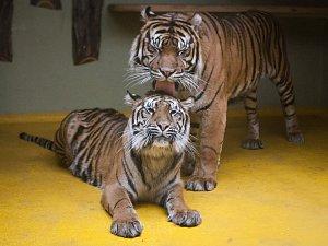 Tygři sumaterští v jihlavské zoo