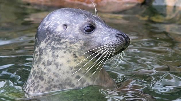 Tuleň Artos z jihlavské zoo uhynul.