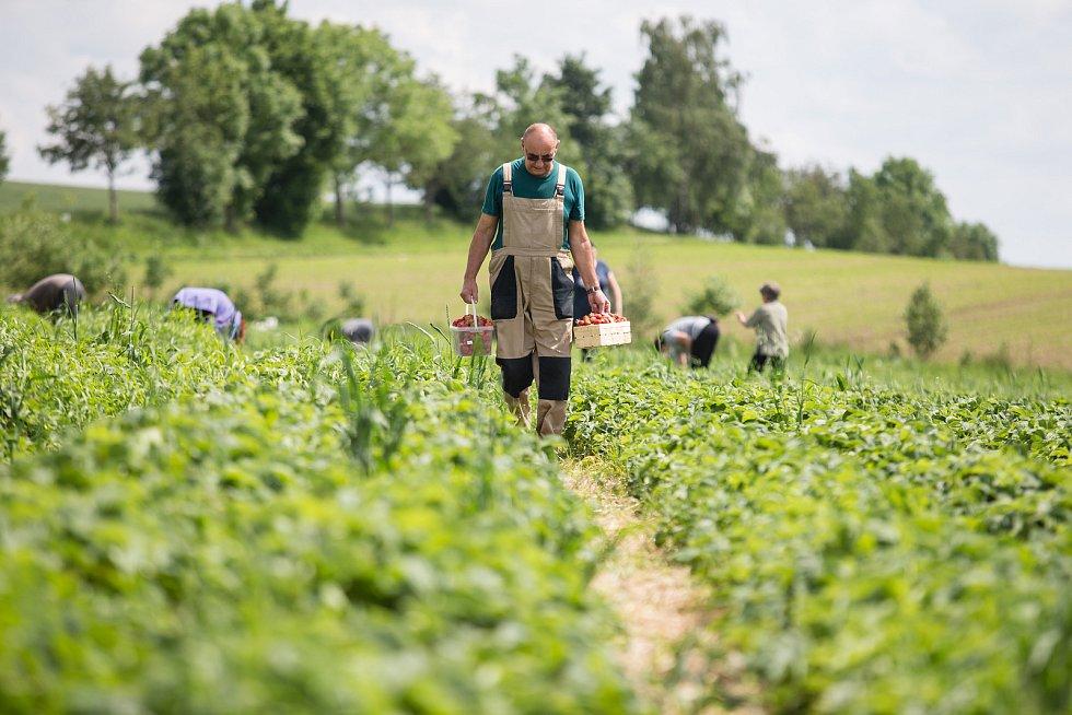 Samosběr jahod na farmě Lubomíra Šantrůčka v České Bělé.
