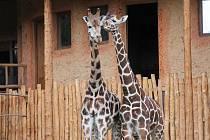 Jedním z největších lákadel jihlavské zoologické zahrady je pavilon žiraf, který byl otevřen loni. Také díky němu zoo trhá rekordy v návštěvnosti.