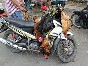 Na skútru Vietnamci převáží prakticky cokoliv.
