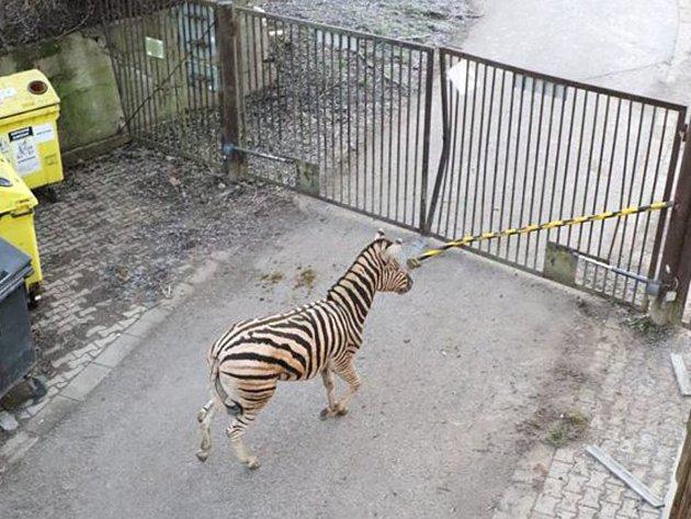 Na novou zoo si samec zebry těžko zvyká.