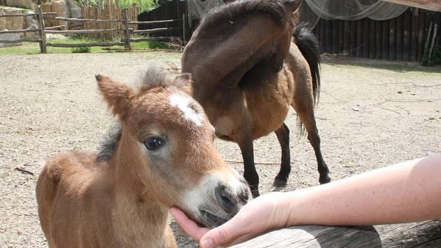 Aktuálně nejčerstvějším přírůstkem je v jihlavské zoologické zahradě mládě pony shetlandského.