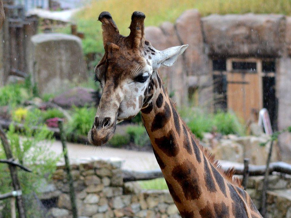 Ani čtvrteční déšť samci žirafy Rothschildovy Zuberimu nevadil a vesele se procházel po venkovním výběhu. Odhodlat se vyjít ven mu trvalo tři roky.
