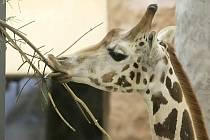 Žirafáci Manu, Paul a Zuberi jsou nyní jedním z největších lákadel jihlavské zoologické zahrady. Návštěvníci je v nové expozici obdivují od června.
