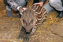 Křtiny malého tapíra v jihlavské zoologické zahradě