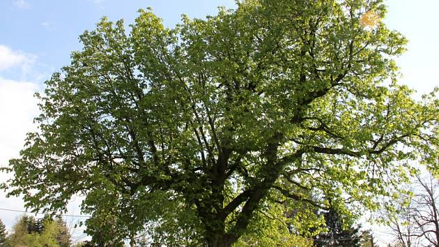 Z kapsy génia. Vloni zastupoval Vysočinu v anketě Strom roku jírovec maďal ze Skleného na Žďársku, který prý vyrostl díky tomu, že geniálnímu Čechovi Járovi Cimrmanovi vypadl na zastávce v obci z kapsy kaštan.