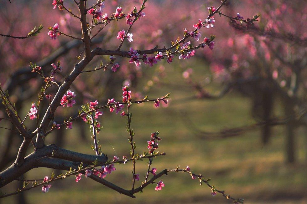 Sad v Brně se vybarvil do růžových odstínů.