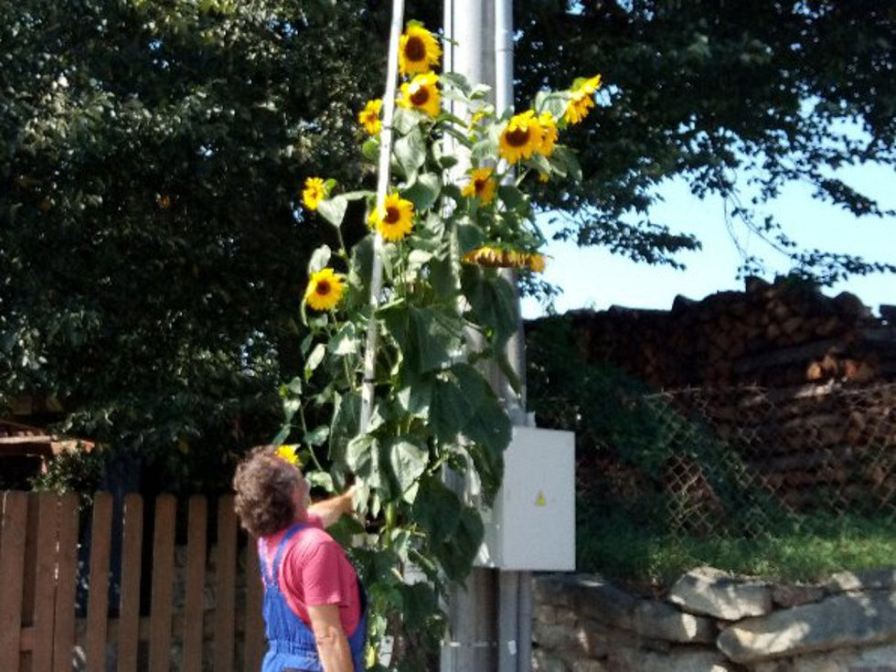 Vítězná slunečnice.