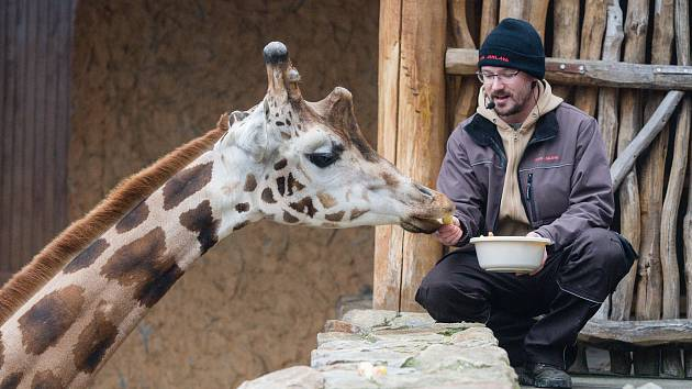 Komentované krmení žiraf si budou moci užít příchozí v sobotu v Zoo Jihlava. Začíná v jedenáct hodin dopoledne.
