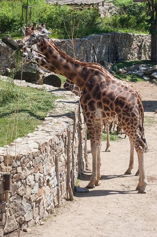 V jihlavské zoologické zahradě už jsou žirafy čtvrtým rokem. Po počátečních půtkách se ve výběhu zabydlely.