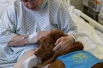 Pes jako lékař. Dvouletý Scoty, který je plemeno psa zavné toller, dochází se svojí paničkou Petrou Humlerovou do jihlavské nemocnice minimálně jednou týdně. Pacienti ho milují.
