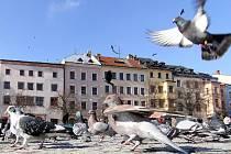 Jihlavský magistrát se snaží zbavit přemnožených holubů.