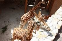 Žirafy v jihlavské zoo.