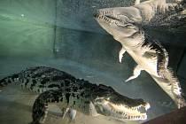 Dominantou nového Tropického pavilonu jihlavské zoologické zahrady jsou krokodýli. Bydlí zde například krokodýl čelnatý Rocco, který je nejstarším obyvatelem zoo vůbec.