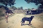 Poznávacím znakem Rumunska včetně českých vesnic v rumunském Banátu jsou toulaví psi
