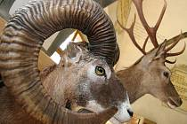 Výstava trofejí spárkaté zvěře v gotickém sále jihlavské radnice.