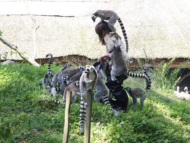 Lemuři kata jsou při krmení velice přátelští. Ošetřovatelům skáčou na hlavu i za krk. Prý to ale nebolí, stačí si zvyknout na jejich váhu.