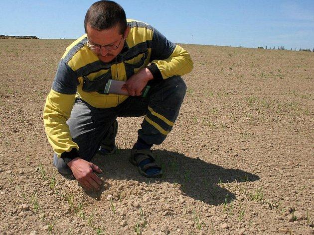 Josef Sklenář na poli zklamaně prohlíží schnoucí rostlinky. Za dostatku vláhy by vyrostly několikanásobně.