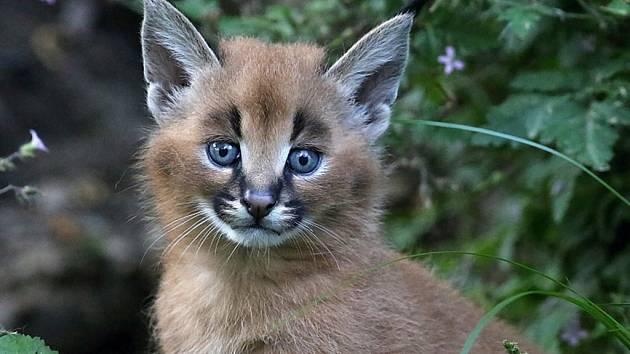 Karalal. Čtyři malá koťata karakalů mohou vidět návštěvníci zoologické zahrady ve výběhu.