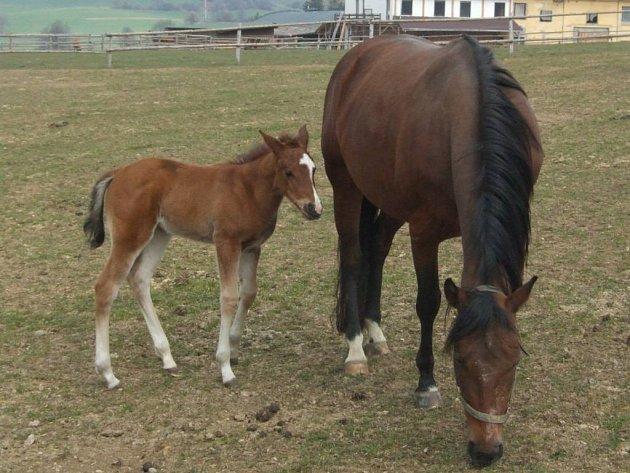 Letos na ranči v Bezděkově čekají, že se narodí deset hříbat.