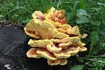 Sírovec je dřevokazná houba, která obalená a usmažená chutná podobně jako kuřecí řízek.