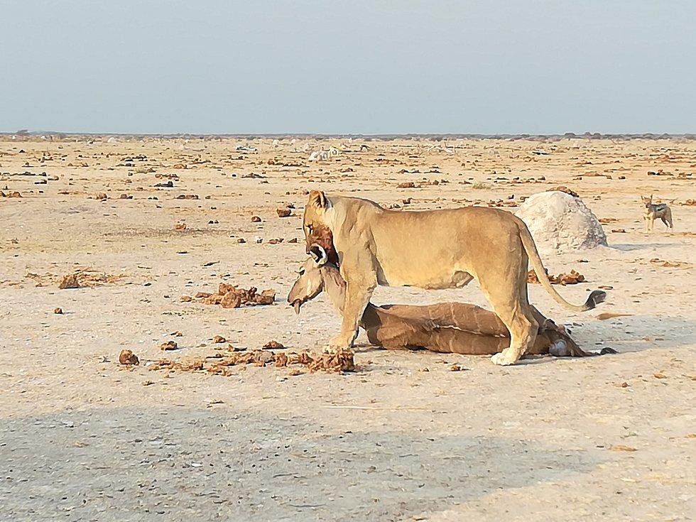 Lvice má úspěšný lov. Botswana.