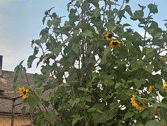 Soutěž v Bezděčíně, kde hledají nejvyšší slunečnici, má tradici.