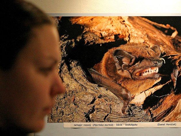 Neobvyklá výstava s názvem Netopýři začala minulý týden v jihlavském Muzeu Vysočiny. K vidění jsou barevné fotografie, texty nebo preparované ukázky netopýrů.