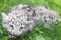 Dvojčata levhartů sněžných, která se v jihlavské zoo narodila vkvětnu, vypadají zatím jako koťata.
