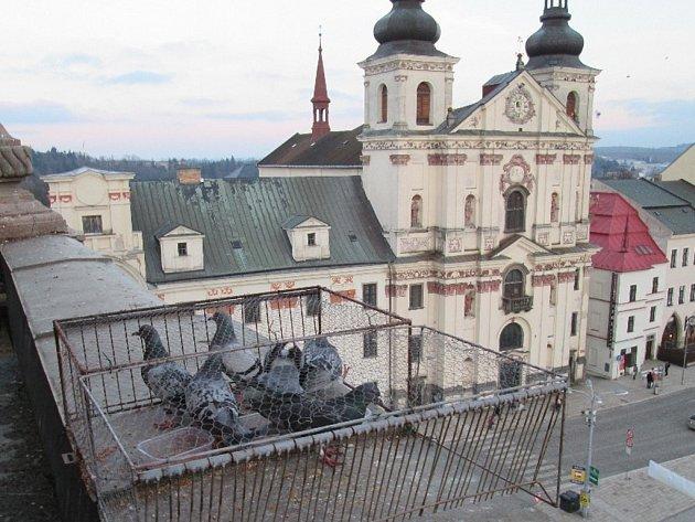 Odchytová místa na holuby jsou v centru krajského města na střechách historických domů. Ročně jich skončí v kleci kolem tří stovek.