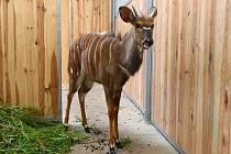 Nyala. Takto vypadá nyala nížinná. V jihlavské zoo žije ve společném venkovním výběhu s žirafami.