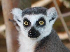 Lemur kata v jihlavské zoo.