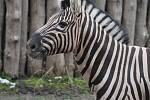 Nový hřebec zebry se rychle aklimatizoval a spolupracoval s chovateli.