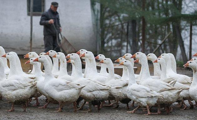 Husí farma v Rohozné na Jihlavsku.