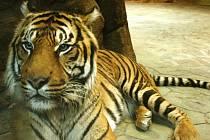 Tygr Dustin patří jihlavské zoo, nyní je ale v Brně.