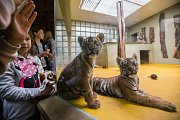 Křest mláďat tygrů sumaterských Suryu a Mau, která se v ZOO Jihlava narodila tygřici Čintě.