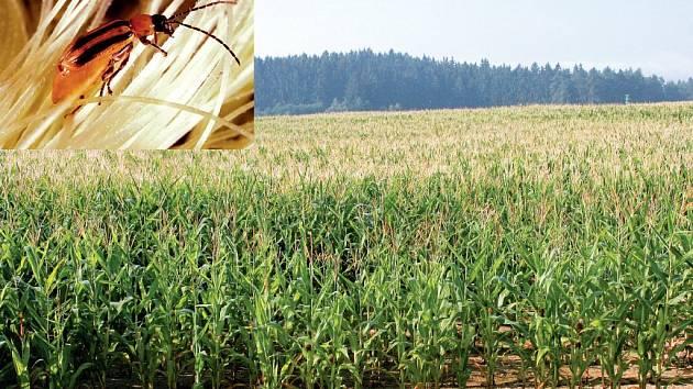 Bázlivec kukuřičný. Nebezpečný škůdce (ve výřezu) měří pouhé 4 mm, ovšem dokáže téměř stoprocentně zlikvidovat