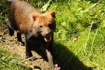 Pes pralesní z jihlavské zoologické zahrady.