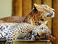 """Jedním ze zvířat, která snášejí vysoké teploty nejhůř, jsou levharti. Před sluníčkem se snaží schovat do stínu. """"Více také odpočívají,"""" řekla ředitelka zoo Eliška Kubíková."""