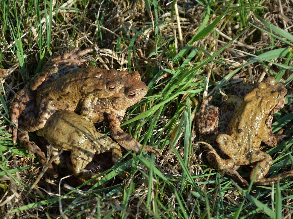 Přenášení žab, ilustrační foto