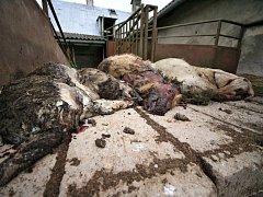 Uhynulá prasata v Brzkově