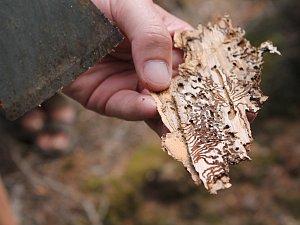 Lesy ničí kůrovec