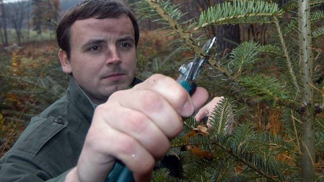 Zastříhávání ozdobných klestů je jednou z variant, jak lesníci na Vysočině chrání stromy před zloději.