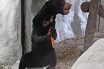 Medvědice Ája se zabydluje v jihlavské Zoo