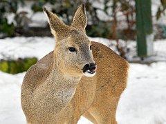 Maso divokých zvířat je v restauracích žádané. Iproto se pytlákům vyplatí lovit ve velkém.