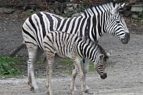 Jihlavská zoo se zase o něco rozrostla. Návštěvníci zoo uvidí mláďata zebry, lamy, ovcí, koz nebo třeba lemurů. Zoo co nevidět přivítá další nové obyvatele – tři žirafáky.